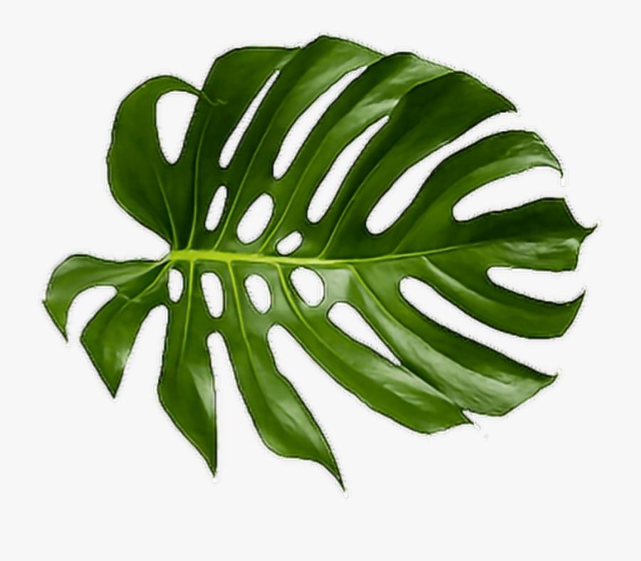 Cheese Plant Leaf Tropics Leaves Tropical Palm Clipart - Tropical Leaf Transparent Background, Transparent Clipart