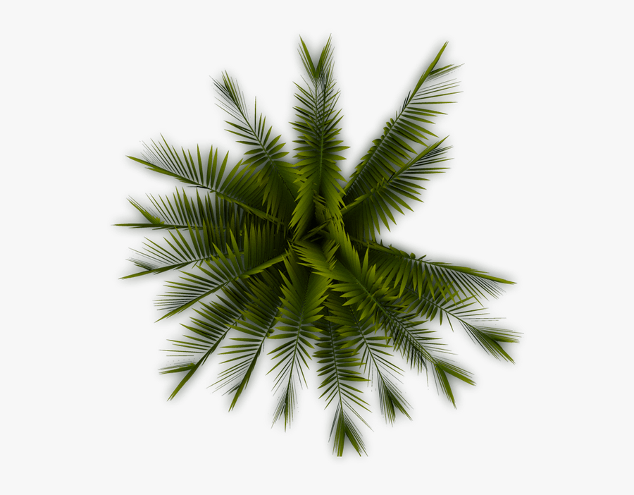 Coconut Tree Clipart Curved - Palm Tree Top View Png, Transparent Clipart