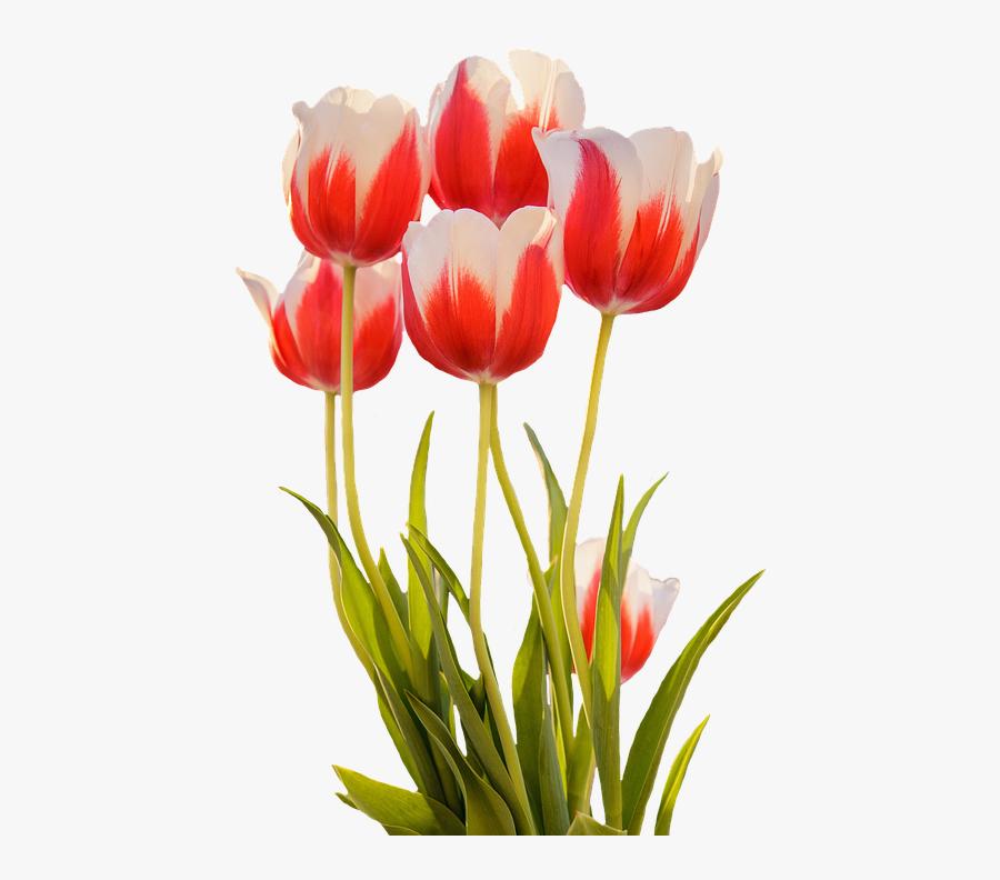 Tulips Red Spring Flower Blossom Bloom Nature Gambar Bunga