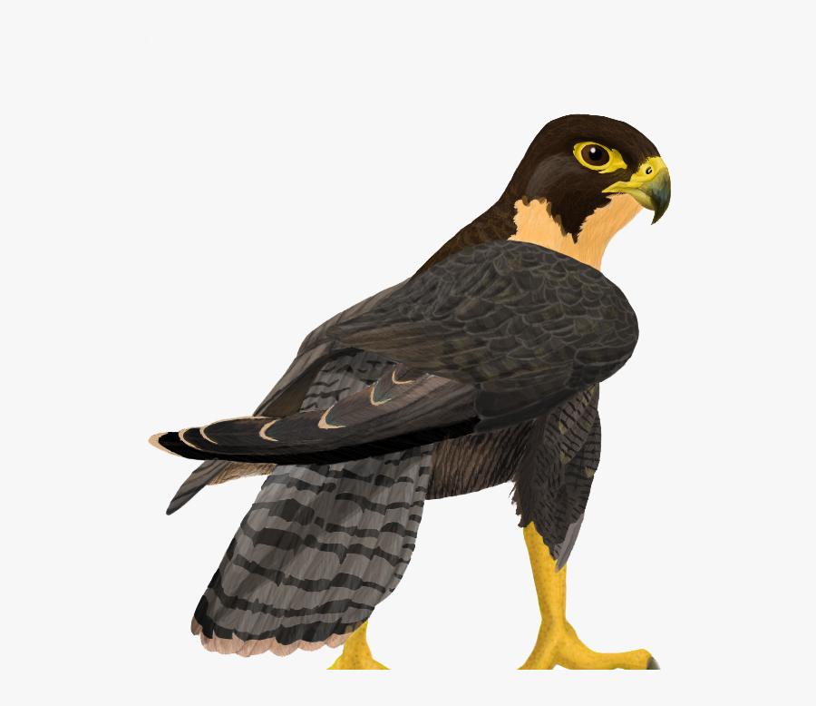 Peregrine Falcon Png Clipart - Peregrine Falcon Png, Transparent Clipart