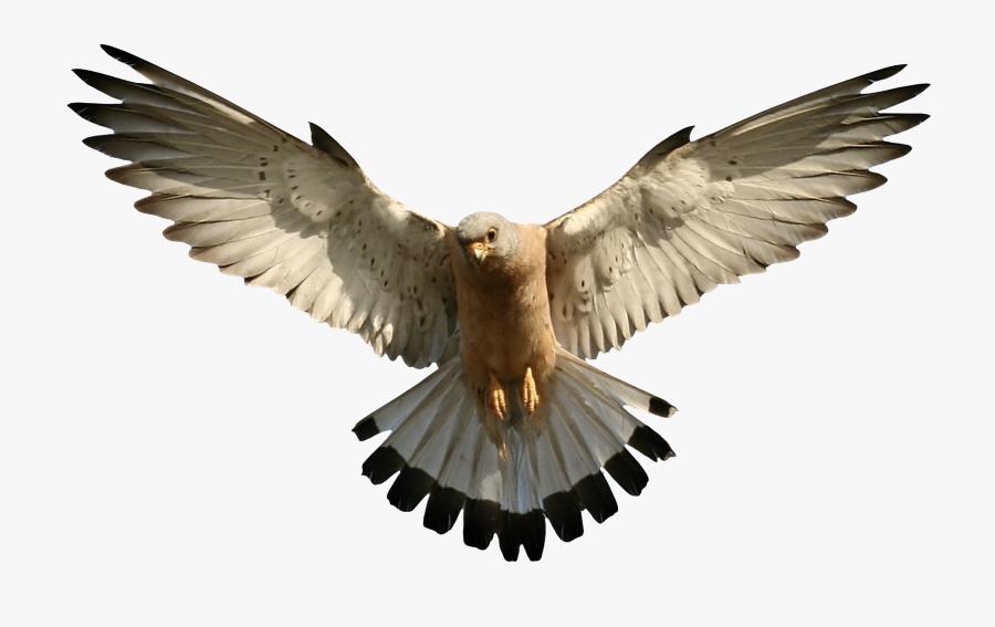 Falcon - Falcon Transparent Png, Transparent Clipart