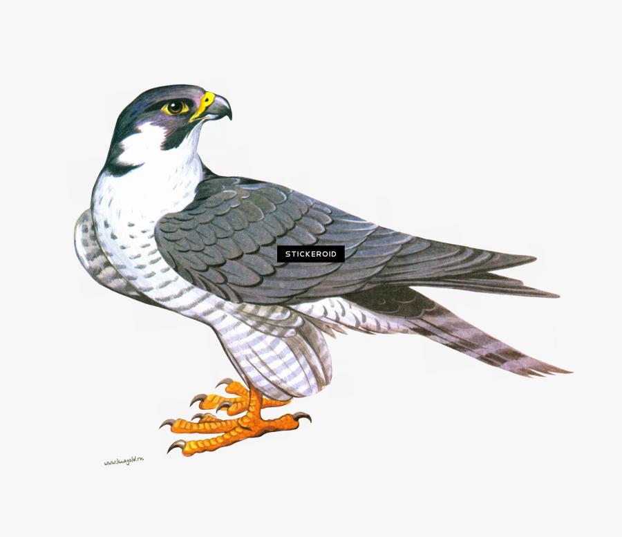 Clip Art Falcon Png , Png Download - Clipart Falcon Png, Transparent Clipart