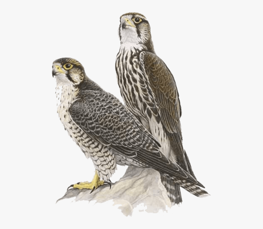 Portable Network Graphics Clip Art Falcon Transparency - Saker Falcon Vs Peregrine Falcon, Transparent Clipart