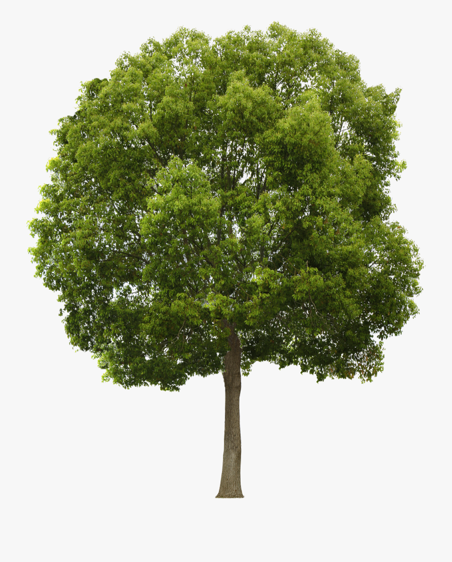 Tree Cliparts Png Narra - Tree Png Transparente, Transparent Clipart