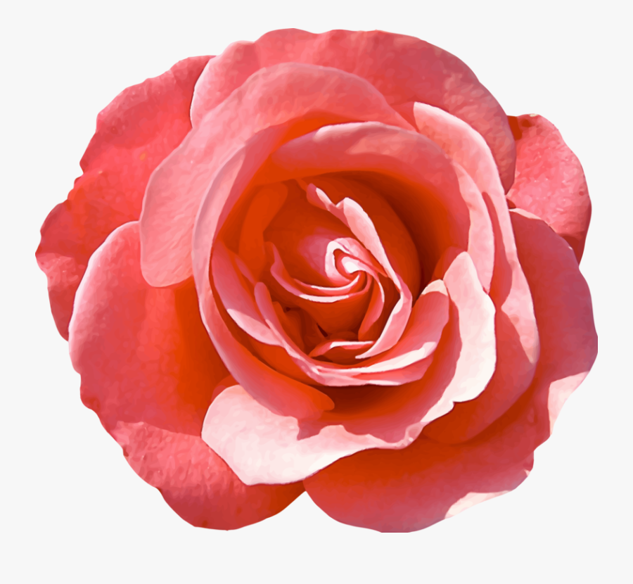 Pink,plant,flower - Isolated Rose, Transparent Clipart