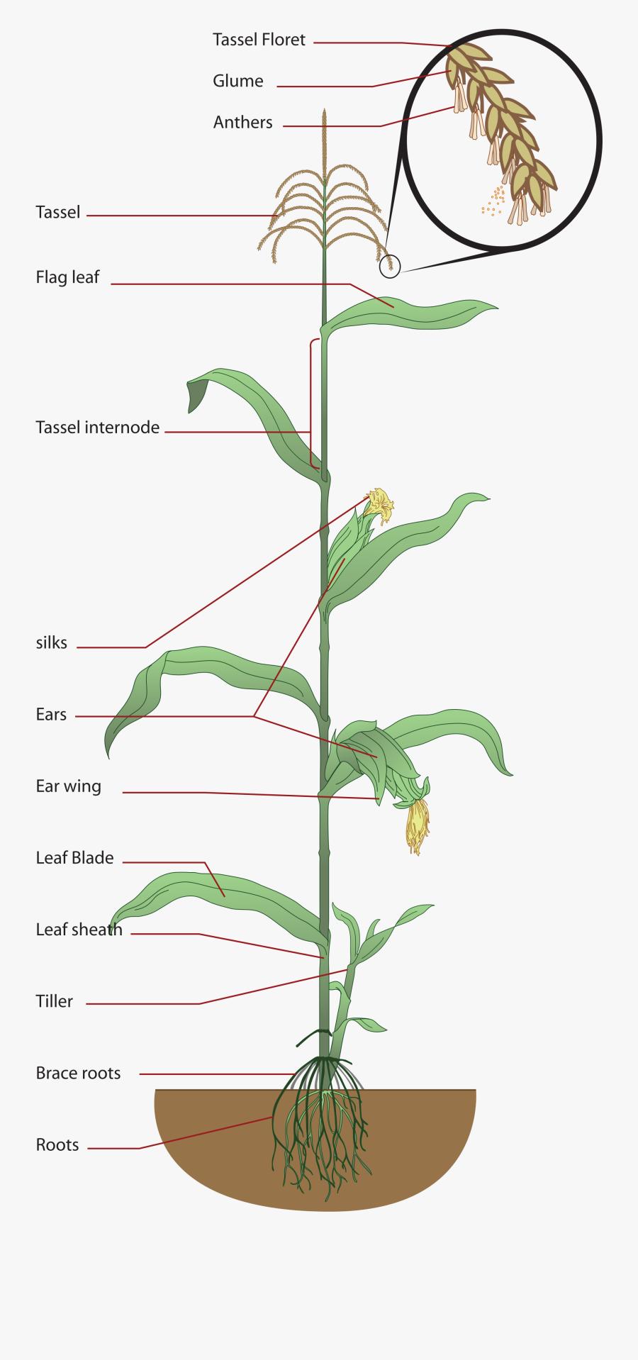 Structure Of Maize Plant, Transparent Clipart