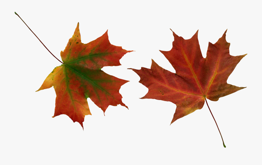 Leaves Vector, Autumn Leaves, Yellow Leaves, Clip Art, - Real Fall Leaves Transparent, Transparent Clipart