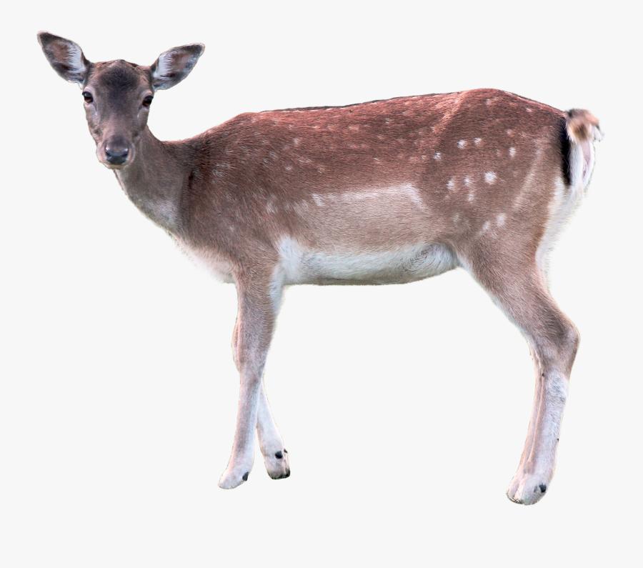Deer,terrestrial Animal,reindeer,musk Deer,fawn,hunting - Deer Transparent, Transparent Clipart