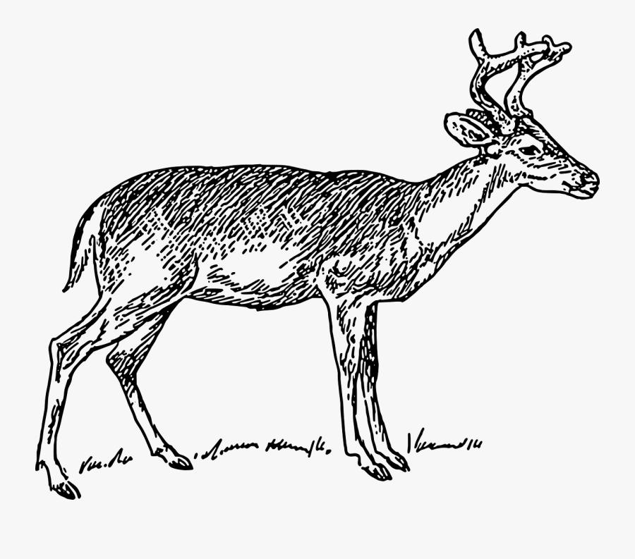 Antelope,musk Deer,deer - Deer Clip Art Black And White, Transparent Clipart