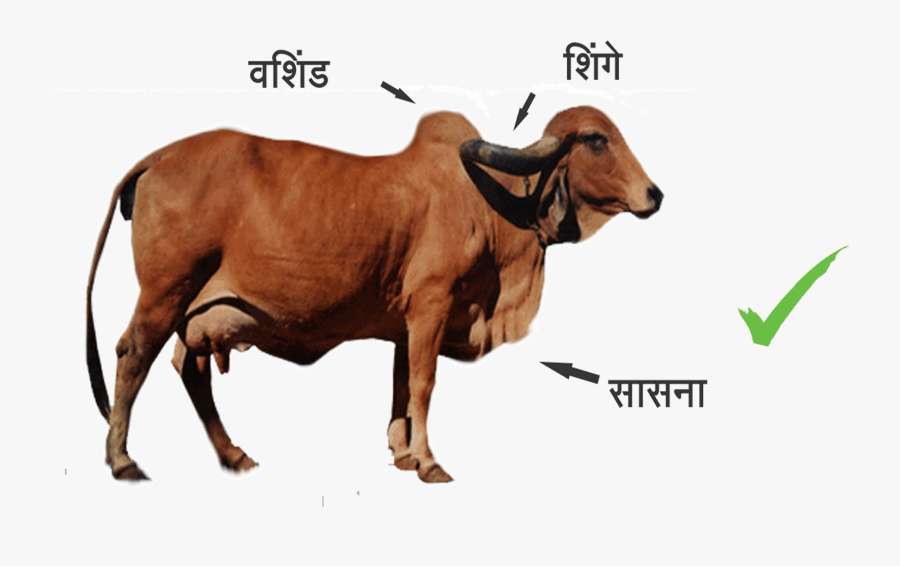 Indian Cow Images Png - Difference Between Indian Cow And Foreign Cow, Transparent Clipart