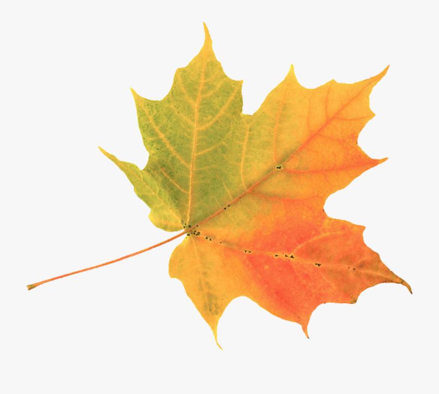 Fall Foliage Transparent Free - Autumn Leaf, Transparent Clipart