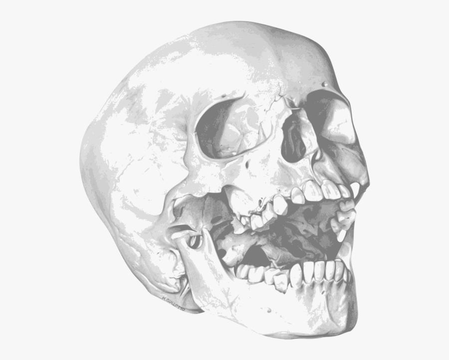 Skull Human Skeleton Bone Drawing - Skeleton Drawing, Transparent Clipart