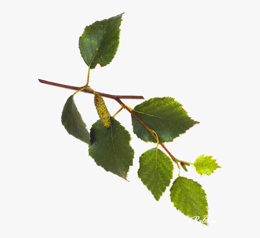 White Birch Tree Leaves - Birch Tree Leaves And Flowers, Transparent Clipart