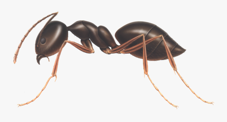 Download Ant Png Clipart - Odorous House Ant Vs Carpenter Ant, Transparent Clipart