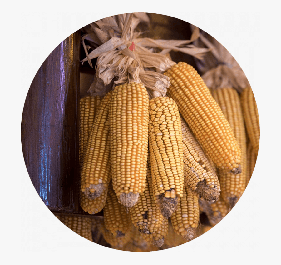 Corn Cobs Hung Up To Dry Maize Free Transparent Clipart