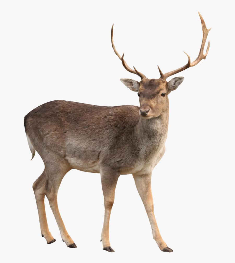 Buck Clipart Hiran - Transparent Background Deer Png, Transparent Clipart