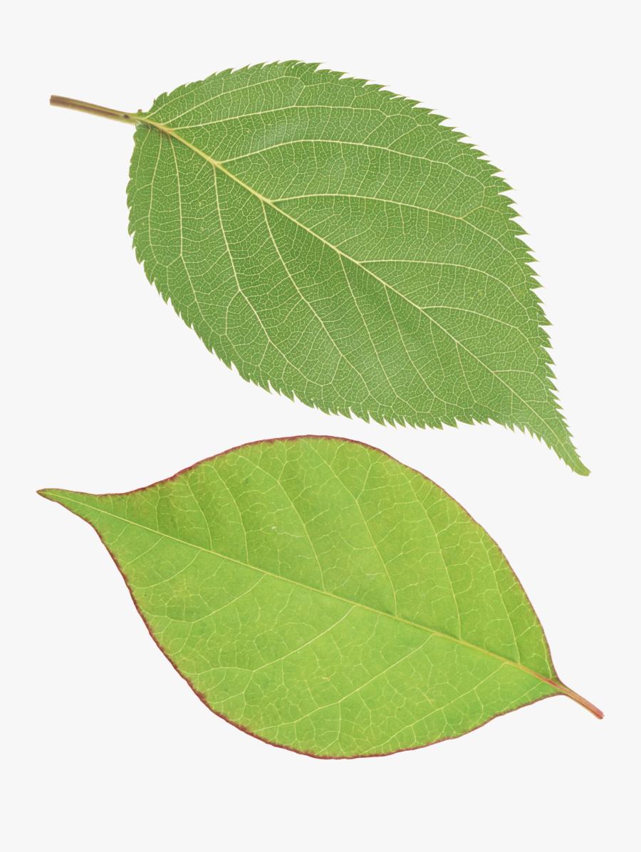Leaf Cliparts Png Green - Single Green Leaf Png, Transparent Clipart