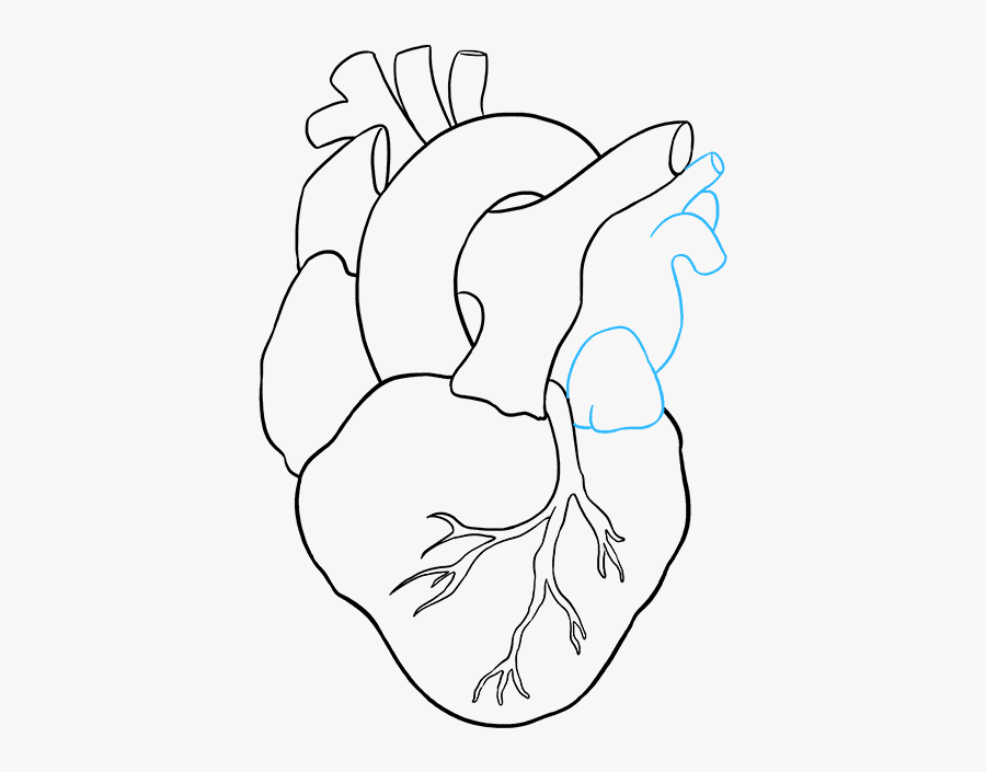 How To Draw A Human Heart, Step By Step, Anatomy, People ...