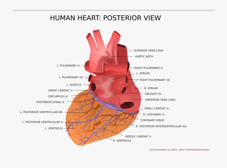 Transparent Human Anatomy Clipart, Transparent Clipart