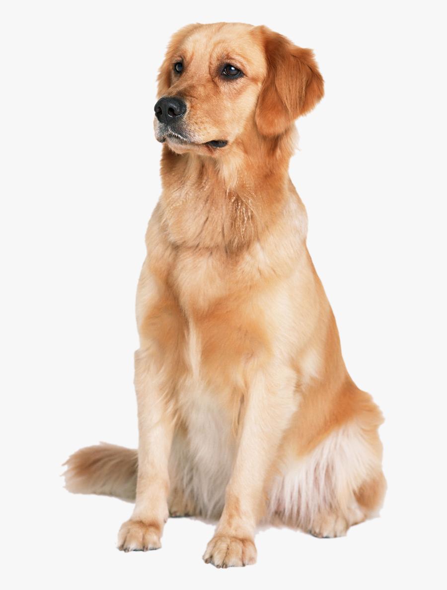 Golden Labrador Dog Cat Puppy Labradoodle Retriever - Golden Retriever Png, Transparent Clipart