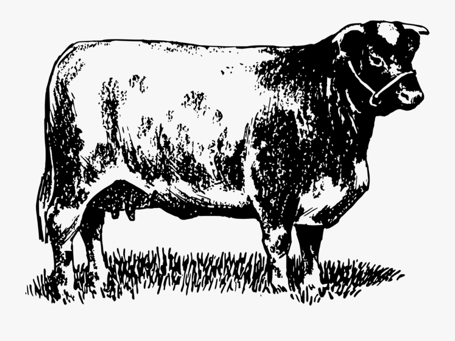 Dairy Cattle Highland Cattle Bull Shorthorn Beef Cattle - Farming Cattle T Shirts, Transparent Clipart