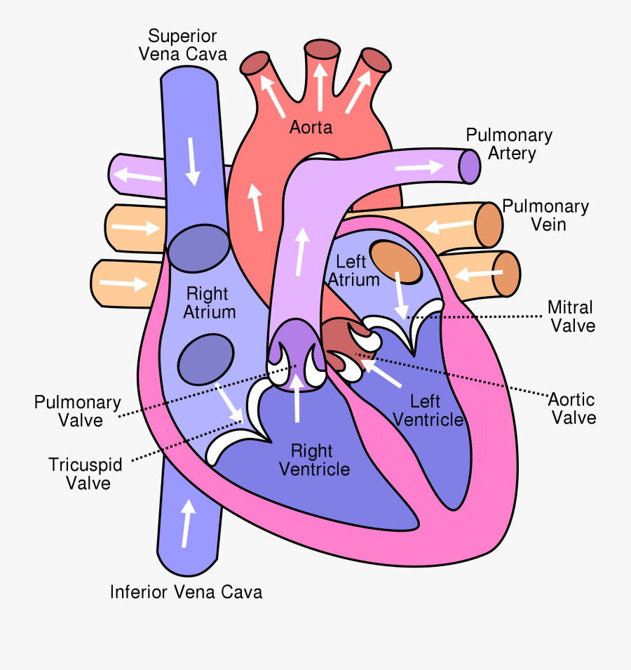 Show Me A Diagram Of The Human Heart Here Are A Bunch ...