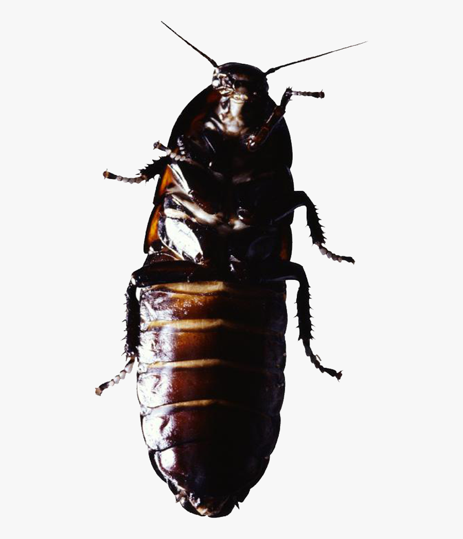 Cockroach Insect Pest Control - Termite, Transparent Clipart