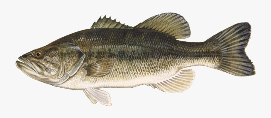 Clip Art Largemouth - Largemouth Bass, Transparent Clipart