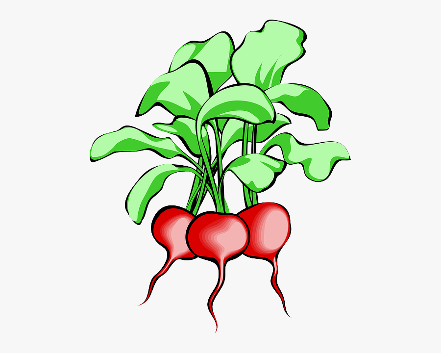 Beet, Beetroot, Vegetable, Root, Plant, Food, Raw - Radish Clipart, Transparent Clipart