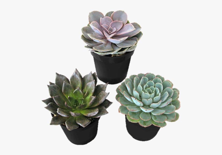 #plants #plant #succulent #succulents #cactus #cacti - Desert Rose Succulent Plant, Transparent Clipart
