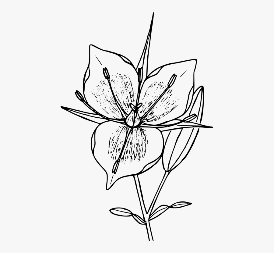 Collection Of Free Mountains Drawing Flower Download - White Mariposa Flower Drawing, Transparent Clipart