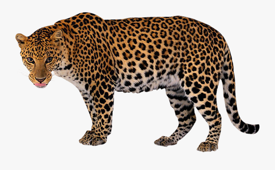 Clip Art Leopard Png - Jaguar Lion Tiger Panther, Transparent Clipart