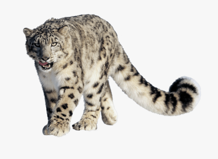 Leopard Snow - Snow Leopard Hemis National Park, Transparent Clipart