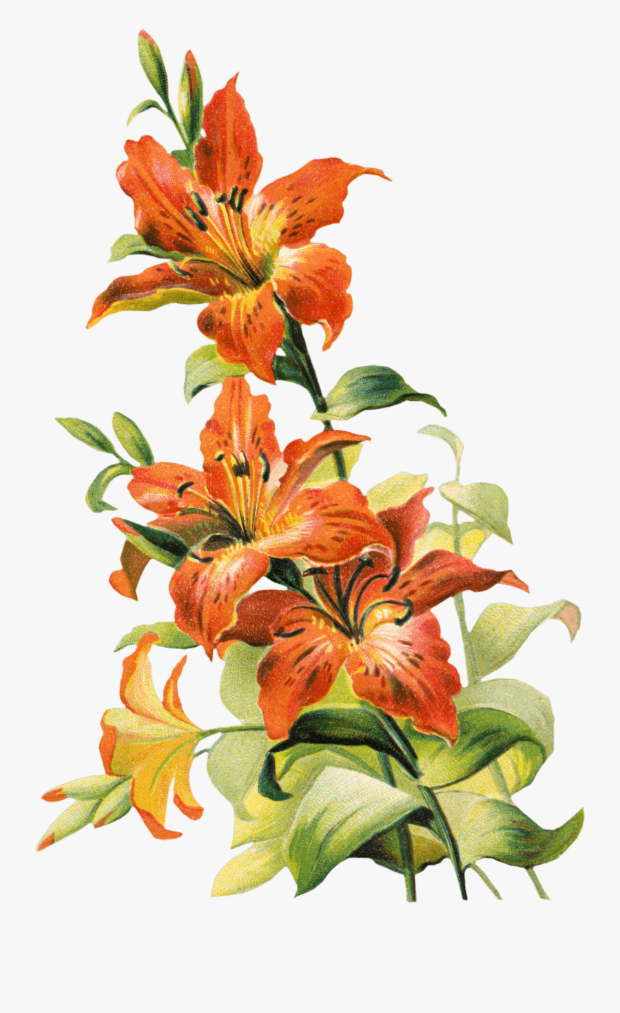 Tiger Lily Clipart - Tiger Lily Flower Png, Transparent Clipart