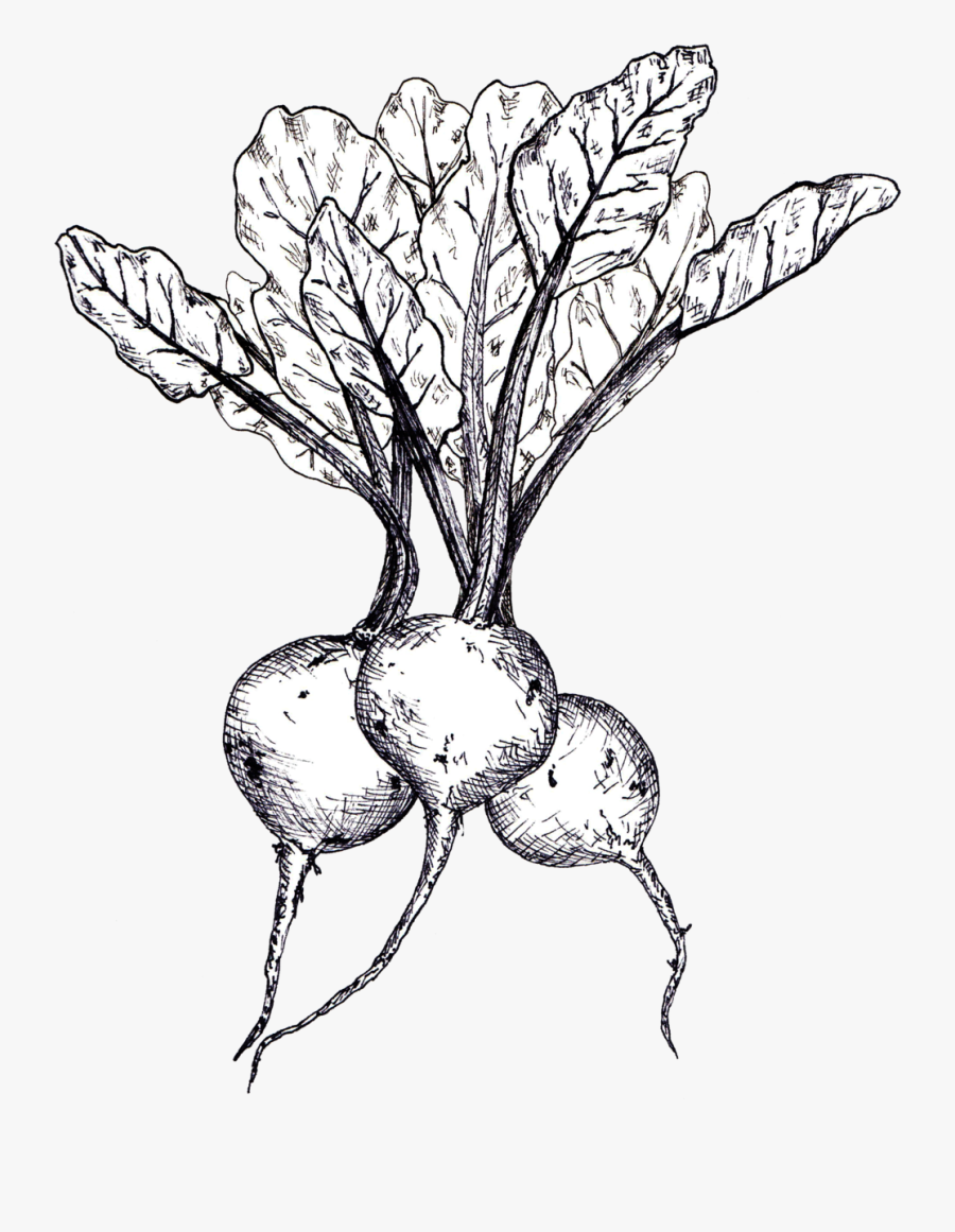 Beets Line Drawing - Beetroot Sketch, Transparent Clipart