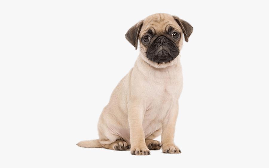 Cute Pug Puppy Transparent Png - Pug Puppy White Background, Transparent Clipart