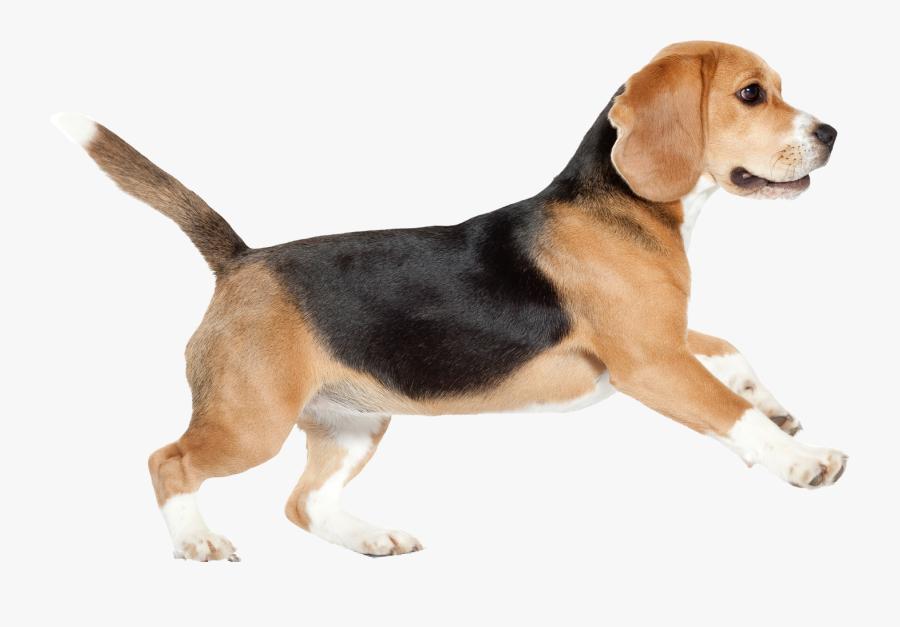 Transparent Beagle Puppy Clipart - Dog Png Walking, Transparent Clipart