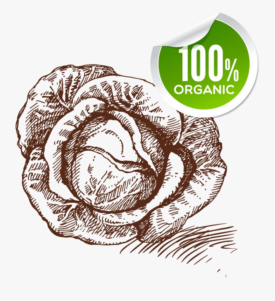 Jpg Transparent Download Food Sketch Cabbage Transprent - Drawing, Transparent Clipart