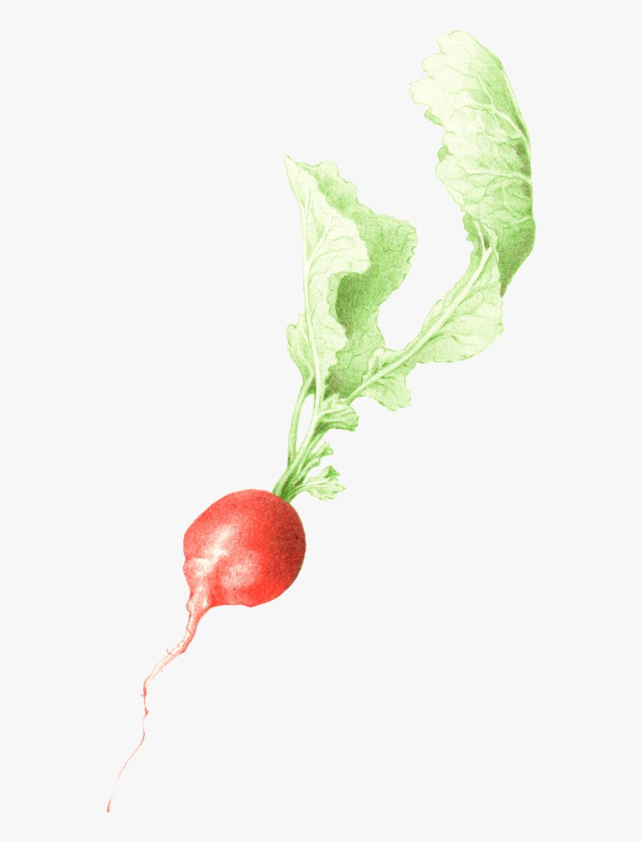 Transparent Radish Clipart - Radish, Transparent Clipart