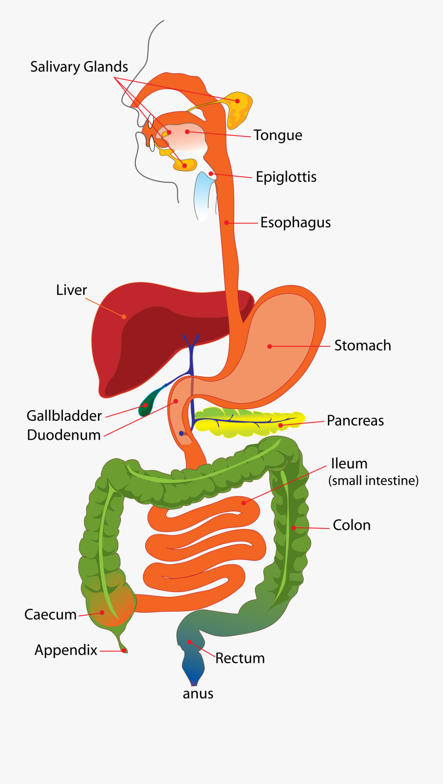 Simple Diagram Of The Digestive System   Free Transparent Clipart