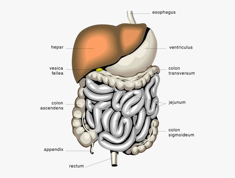 Transparent Digestive System Clipart - Digestive System, Transparent Clipart