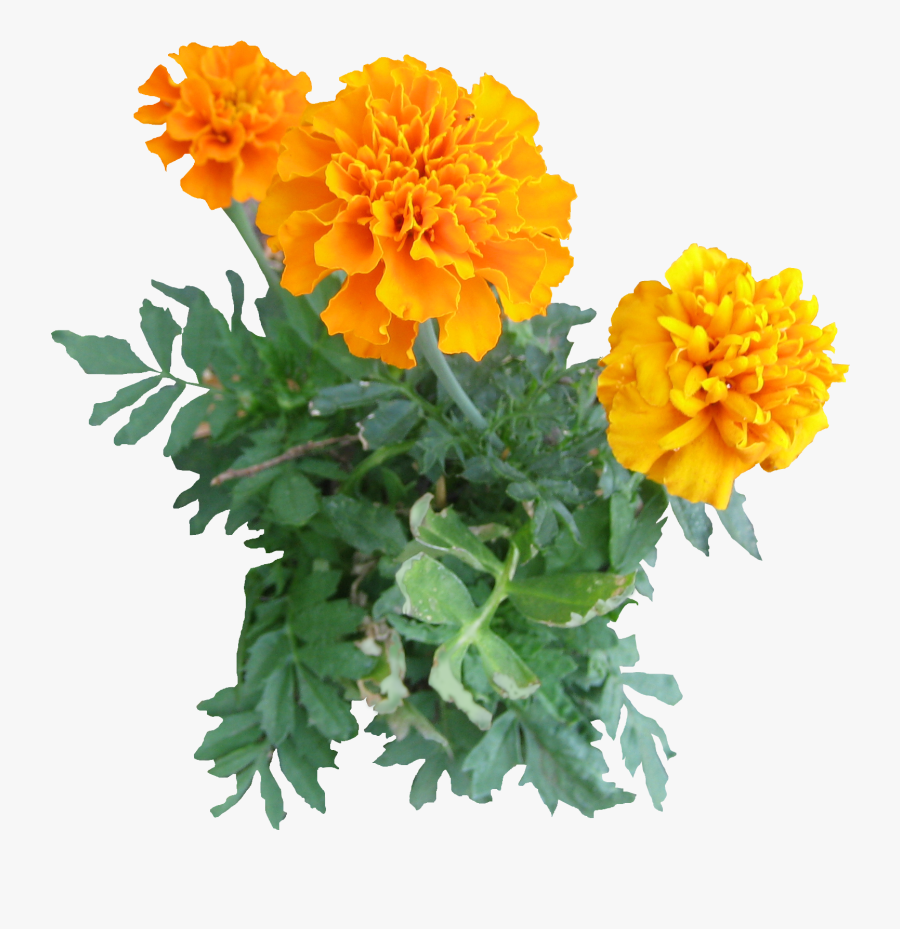 Marigold Png - Marigold Flower Png, Transparent Clipart