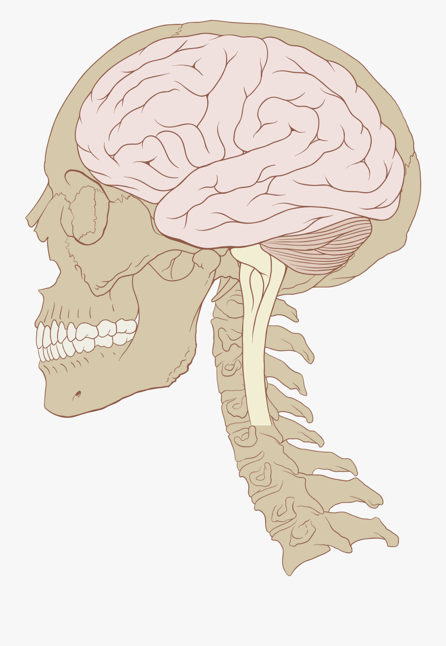 Clip Art Brain Illustrations - Know If You Have A Concussion, Transparent Clipart