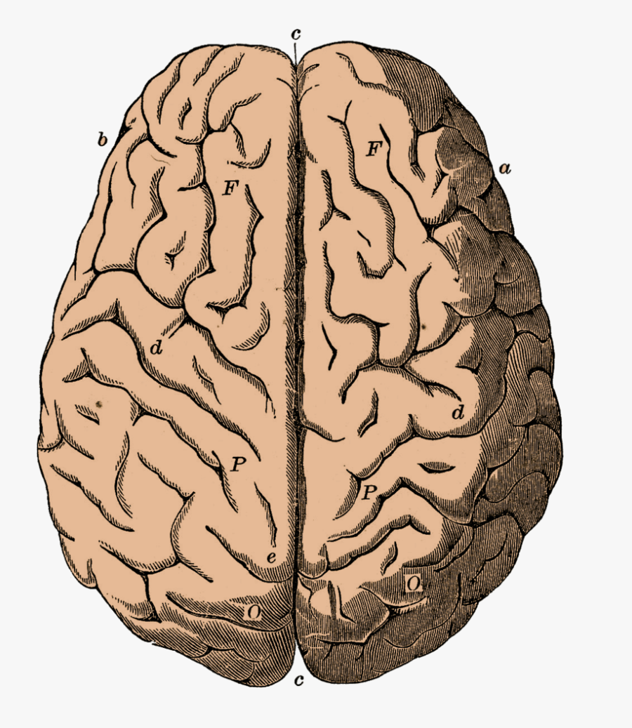 Vintage Brain Anatomy Poster, Transparent Clipart