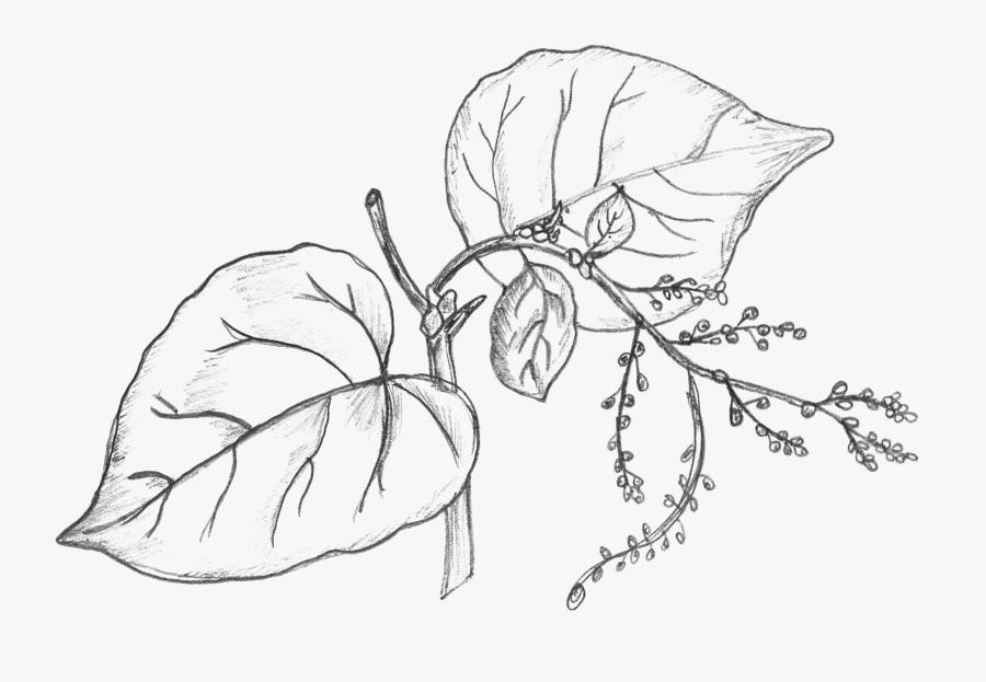 28 Collection Of Money Plant Drawing - Money Plant Leaves Drawing, Transparent Clipart