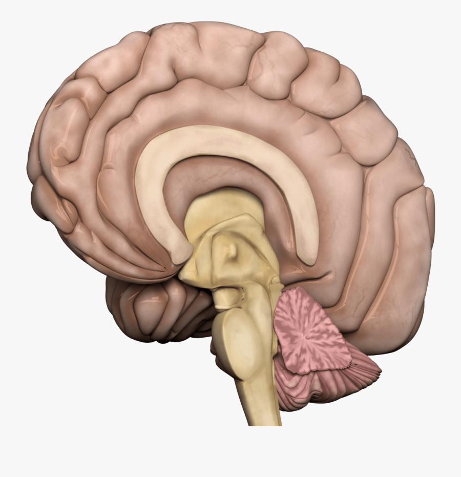 Human Brain Transparent Png - Human Brain Png Transparent, Transparent Clipart