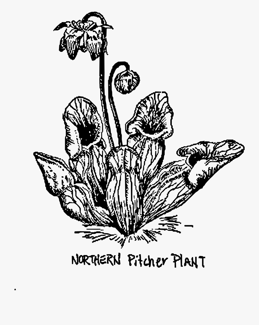 Pitcher Plant Black And White - Pitcher Plant Coloring Page, Transparent Clipart