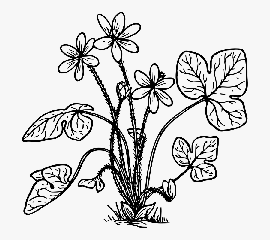Herb, Nature, Plant, Flower, Biology, Botany - Herbs Plant Clipart Black And White, Transparent Clipart