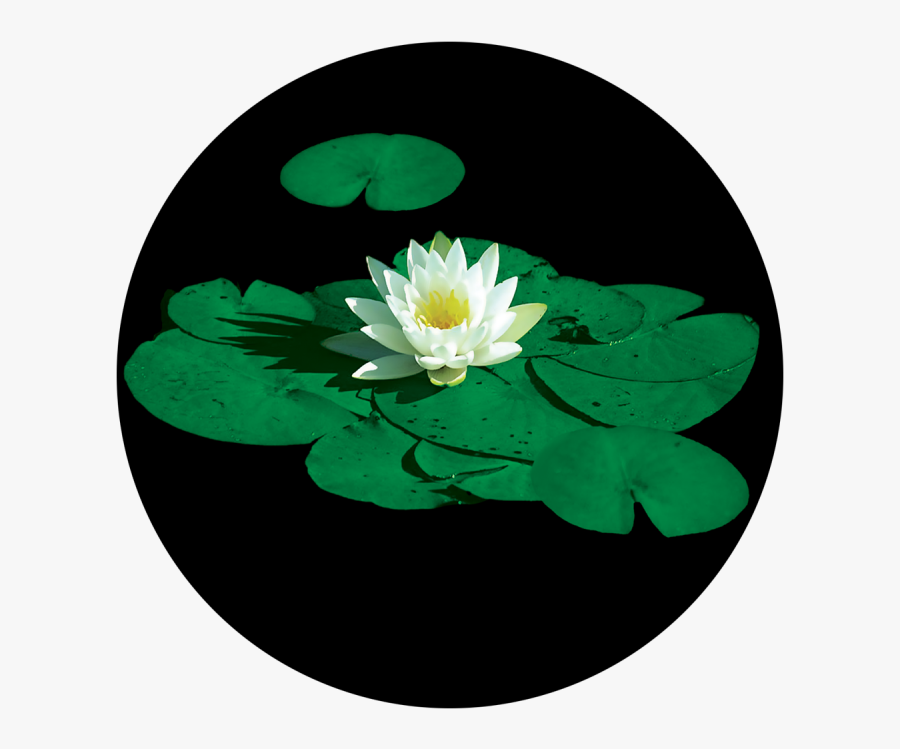 Stunning Lily Pad - Lily Pad Flower, Transparent Clipart