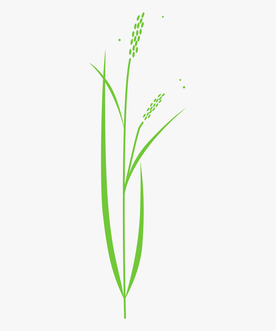 Rice Plant - Drawing Of Rice Plant, Transparent Clipart